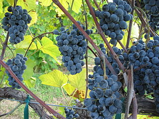 Tmavá odroda viniča