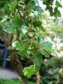 Nothofagus-antarctica-uncertain-germany-1000585.JPG