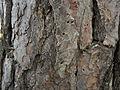 Nothorhina muricata (15450685953).jpg