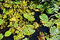 Nuphar lutea native waterlily at Woods Mill, Sussex Wildlife Trust, England 07.jpg