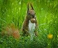 Nutty squirrel (41133396055).jpg