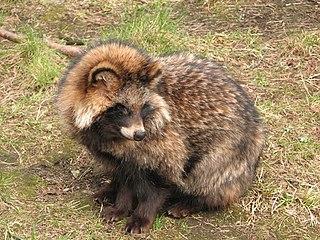 Psík medvedíkovitý