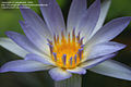 Nymphaea Tropical Day-Blooming Water Lily, Waterlily 'Blue Beauty'.jpg