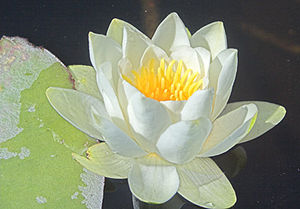 Basal angiosperms - Nymphaea alba, from the Nymphaeales