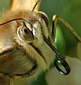 Nymphalidae face closeup.jpg