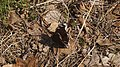 Nymphalis antiopa - Mourning cloak - Траурница (47995071312).jpg