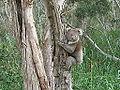 OIC black hill koala.jpg