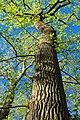 Oak Canopy (3) (8708462582).jpg