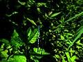 Odonata IMG 6010.jpg