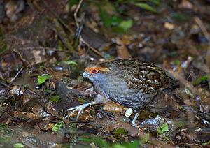 Spot-winged wood quail - Image: Odontophorus capueira