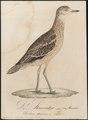 Oedicnemus crepitans - 1800-1812 - Print - Iconographia Zoologica - Special Collections University of Amsterdam - UBA01 IZ17200085.tif