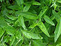 Oenothera speciosa Siskiyou D.jpg