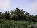 Oil palm Plantation.JPG