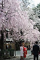 Okunitama 2008-3-29 Miyamairi girl-1.jpg
