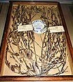 Olive Branch Wreath Awarded to Australia's first Olympic Medallist - - www.joyofmuseums.com - National Sports Museum.jpg