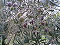 Olives à Villetelle (F-34400).jpg
