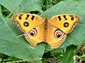 Open wing position of Junonia almana Linnaeus, 1758 – Peacock Pansy-Butterfly of Bangladesh 07.jpg