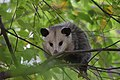 Opossum (37632412346).jpg