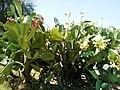 Opuntia ficus-indica, Monti Climiti.jpg