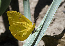 Orange-barred Sulphur (Phoebis philea) in Ecuador.jpg