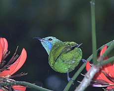 Orange-bellied Leafbird Female.jpg