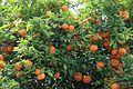 Oranges on tree in Cartagena A.jpg