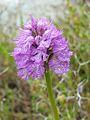 Orchis Tridentata.JPG