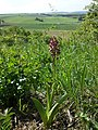 Orchis purpurea sl28.jpg
