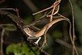 Oriental Garden Lizard (Calotes versicolor) 變色樹蜥13.jpg