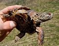 Ornate box turtle (5799355571).jpg