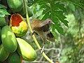 Ortalis cinereiceps en árbol de papaya.JPG