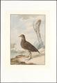 Ortygometra porzana - 1757 - Print - Iconographia Zoologica - Special Collections University of Amsterdam - UBA01 IZAA100280.tif