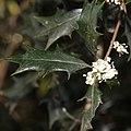 Osmanthus heterophyllus (flower s7).jpg