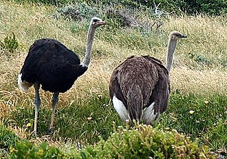 Ostrich - Common ostrich (Struthio camelus), male and female