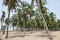 Ouidah-Cocotiers.jpg