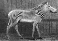 Oustalet, E. (1882). Une nouvelle espèce de Zèbre. Le Zèbre de Grévy (Equus revyi). La Nature. 10 (470) 12–14.png