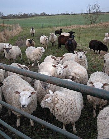 English: Ovine intervention, Woodmansey On the...