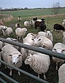 Ovine intervention, Woodmansey - geograph.org.uk - 629360.jpg