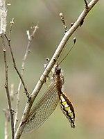 Owlfly Ascalaphidae female 2 by kadavoor.jpg