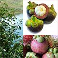 Owoce Mangostan właściwy.jpg