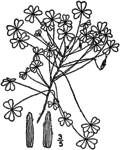 Oxalis dillenii BB-1913-1.png