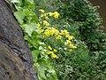 Oxford Ragwort - Senecio squalidus - growing on the City Wall - geograph.org.uk - 1164353.jpg