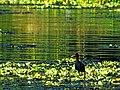 Pássaro nos Aguapés.jpg