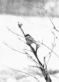 PSM V56 D0380 Chickadee observing.png