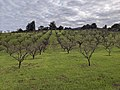 Packard apricot orchard in winter.jpg