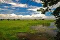 Paddy field.jpg