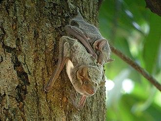 Mauritian tomb bat - A pair of Mauritian tomb bats in Ankarafantsika, Madagascar