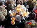Pale orange Rebutia (3564616318).jpg