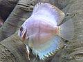 Paletka barwna - Symphysodon aequifasciatus (2).JPG