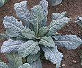 PalmkohlPflanze.jpg